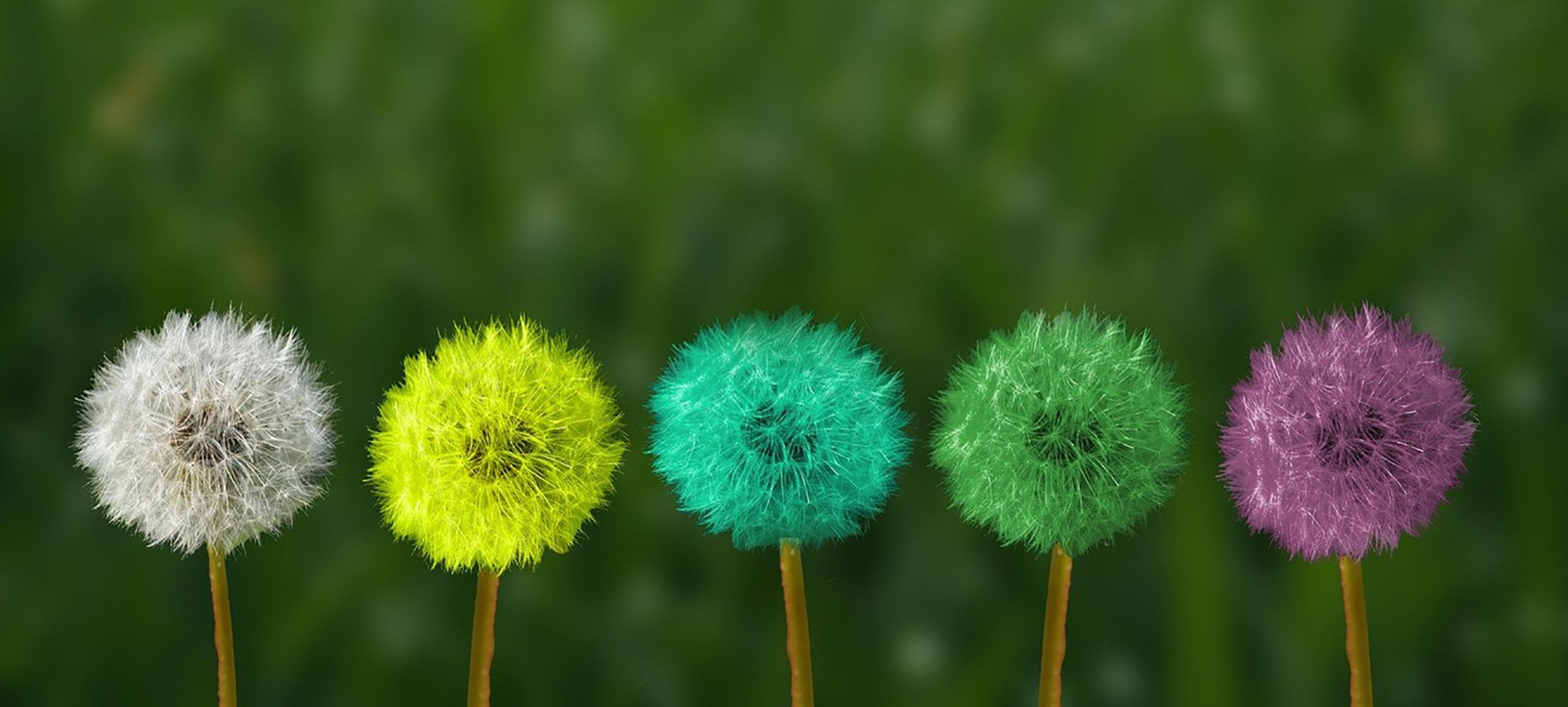 Farbige Pusteblumen